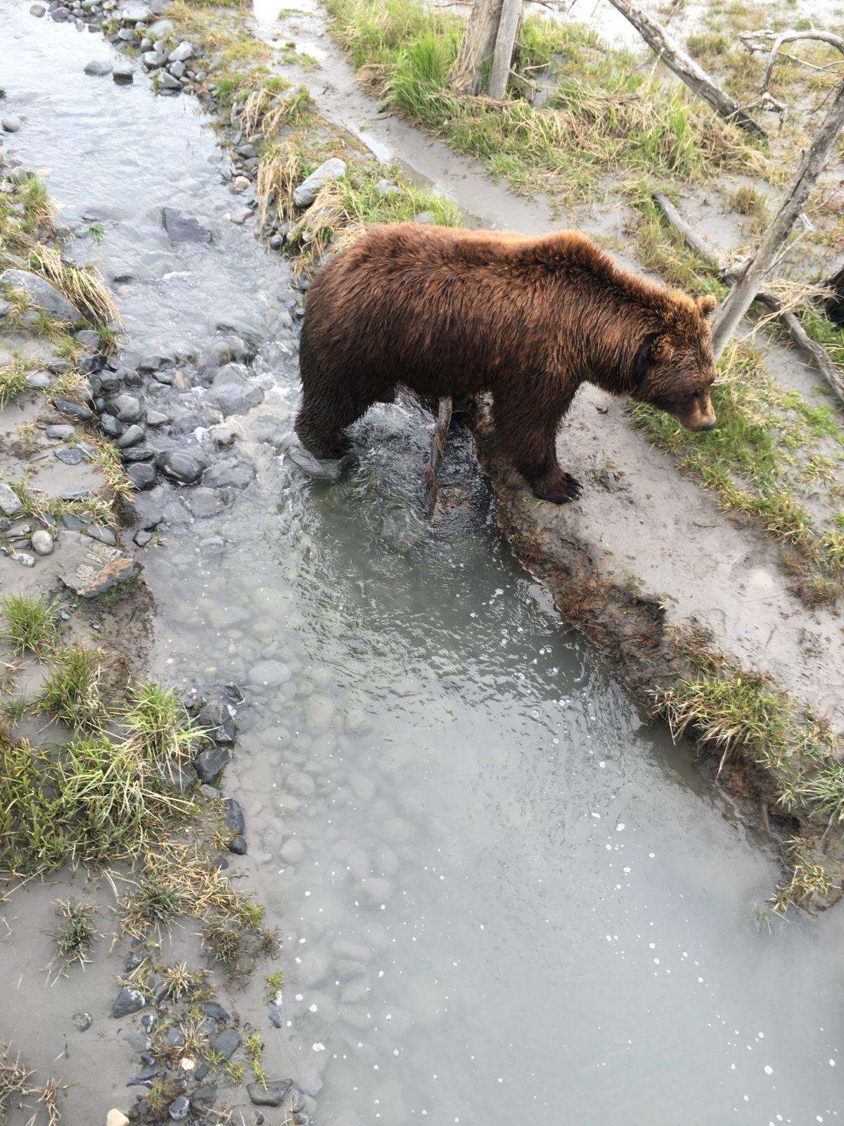 bear awcc