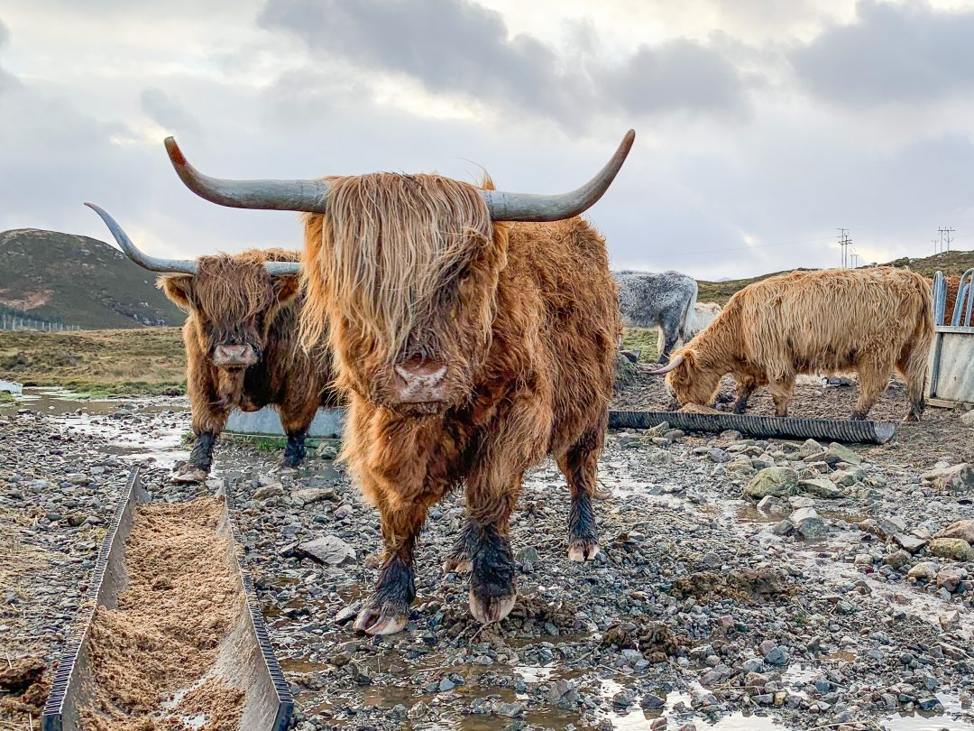 7 Day Scotland Highland Road Trip Highland Coos