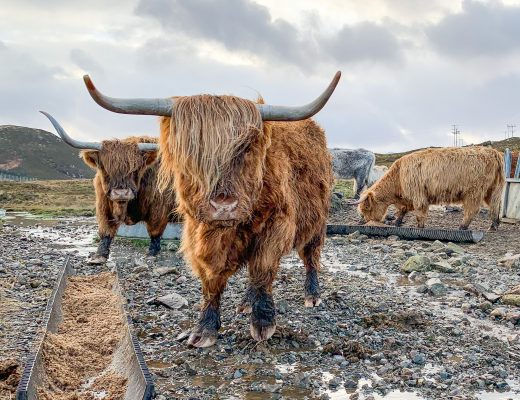7 Day Scotland Highland Road Trip Highland Coos