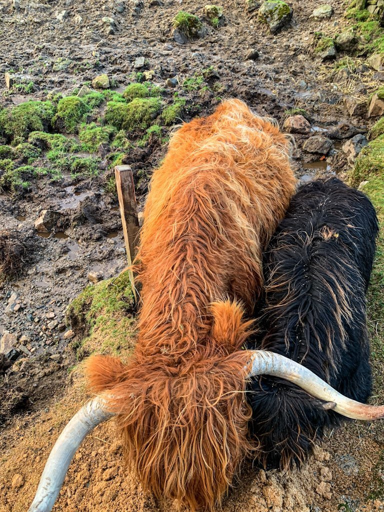 Scotland Highlands Hairy Coos