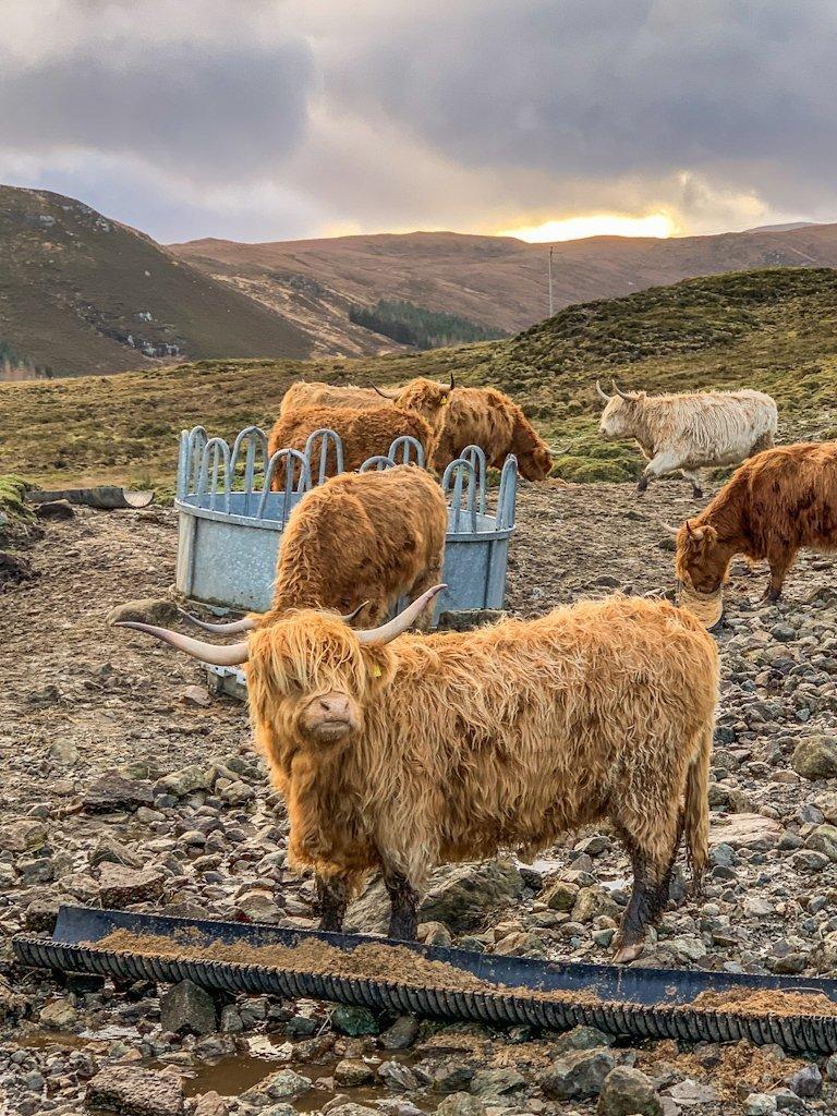 Isle of Skye Hairy Highland Coos