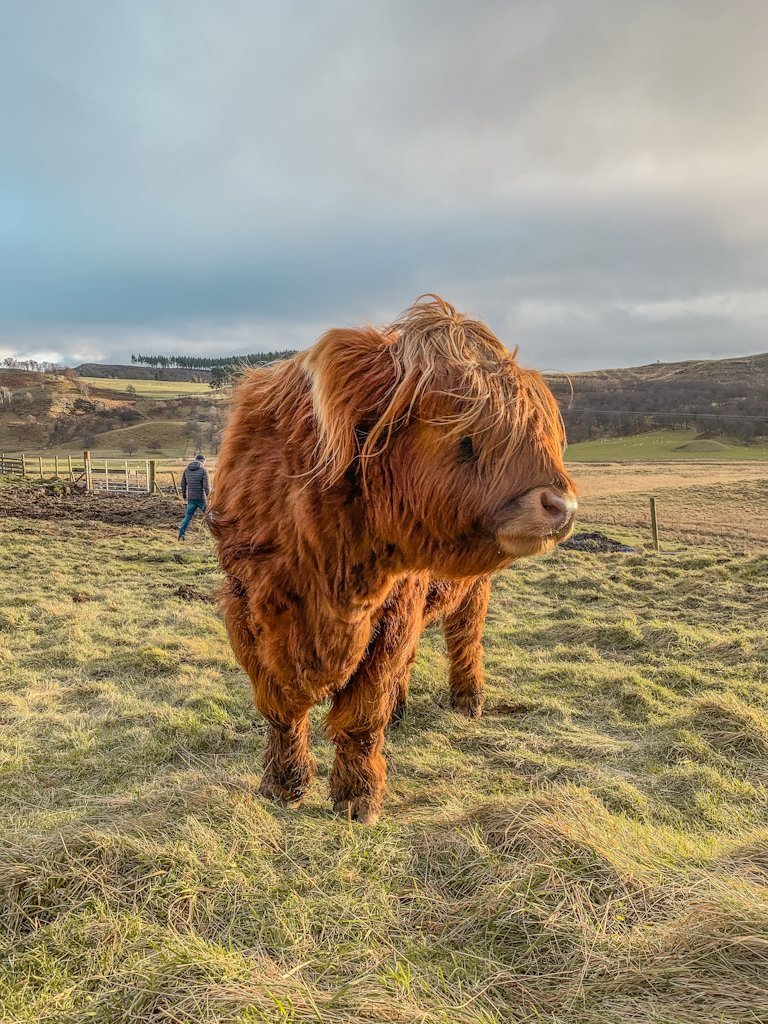 Hairy Coo Studio Scotland
