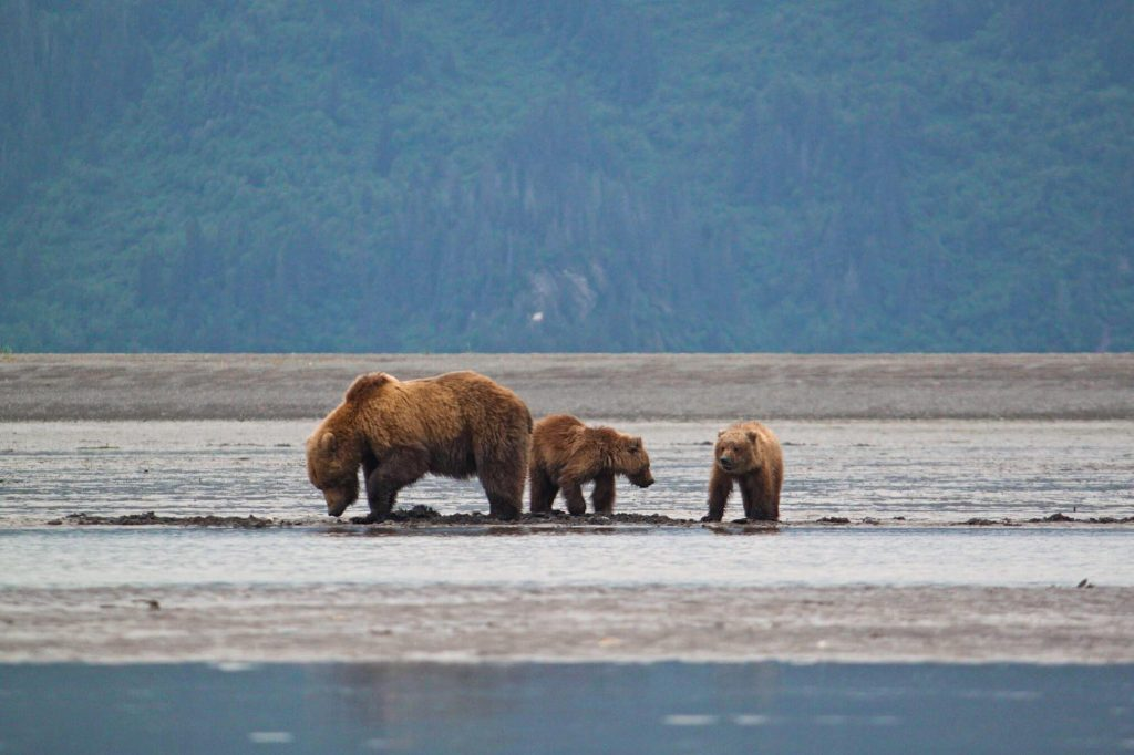 alaska travel guide bear viewing