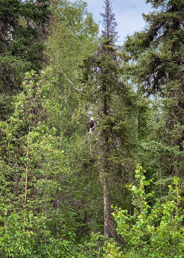 Bald Eagle in Tree on Alaska Lake