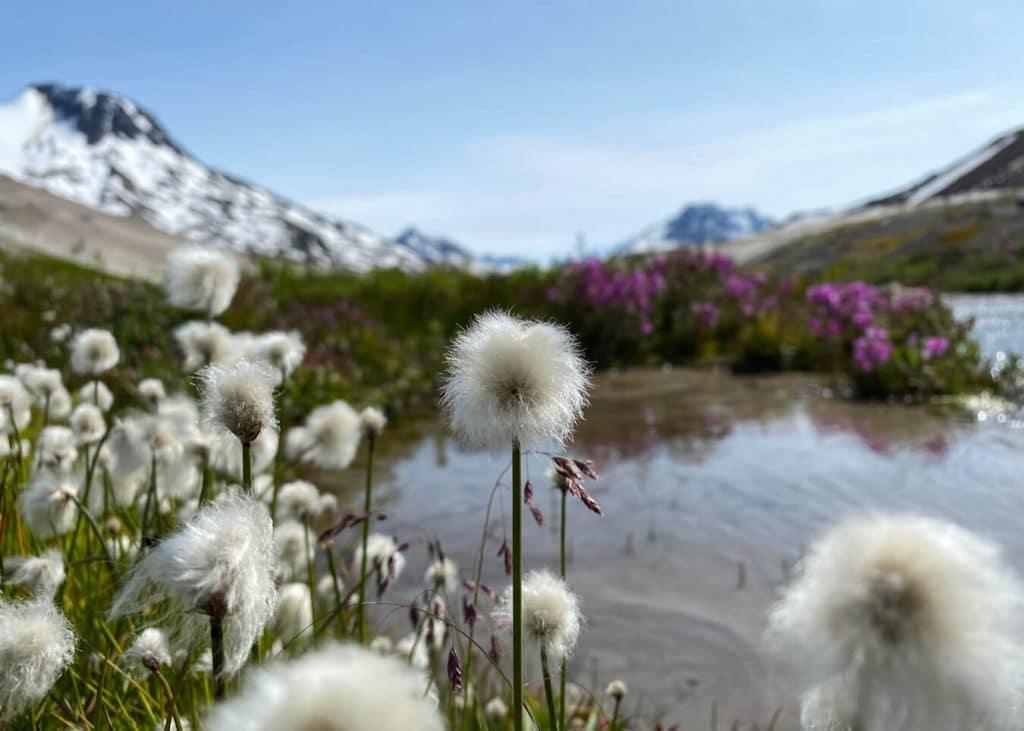wildflowers in wrangell st elias national park