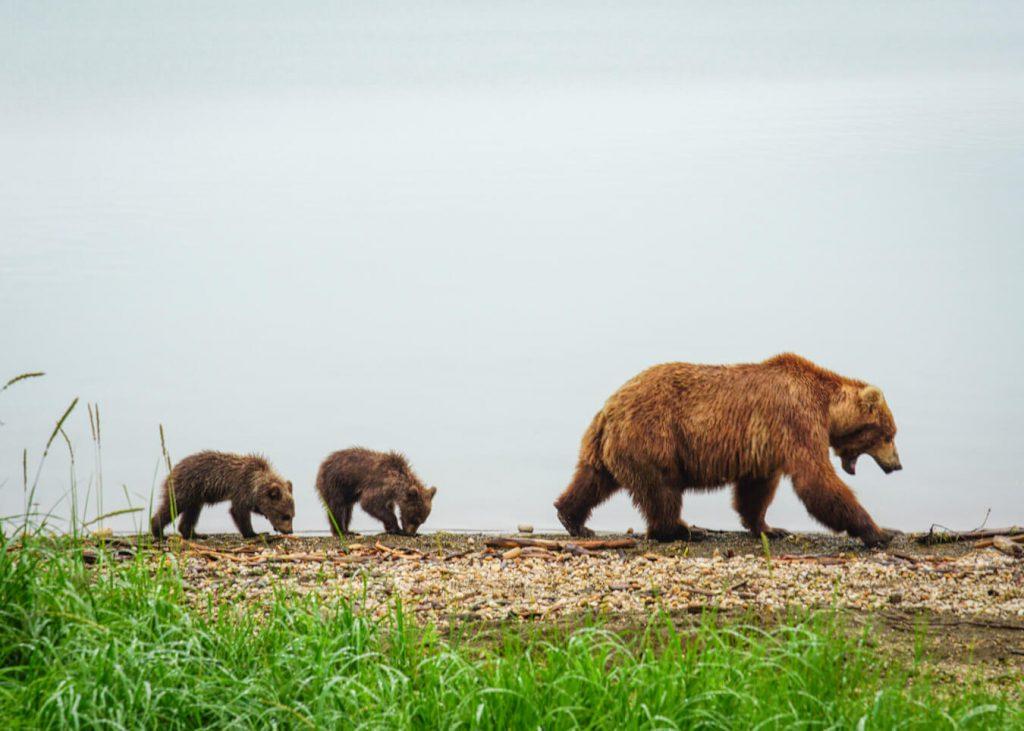 brooks camp camping brown bears beach naknek lake