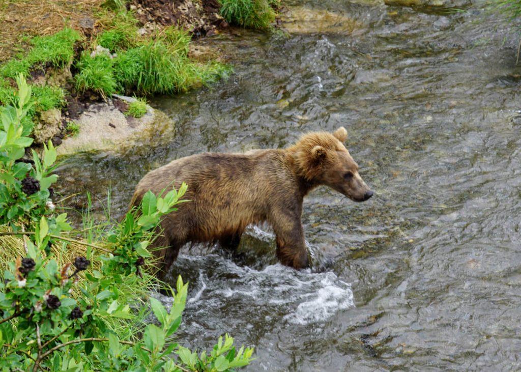 brown bear katmai riffles platform