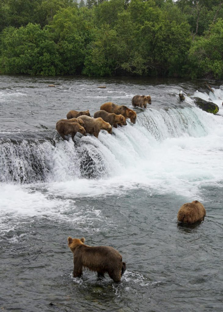 brooks falls brown bears katmai national park